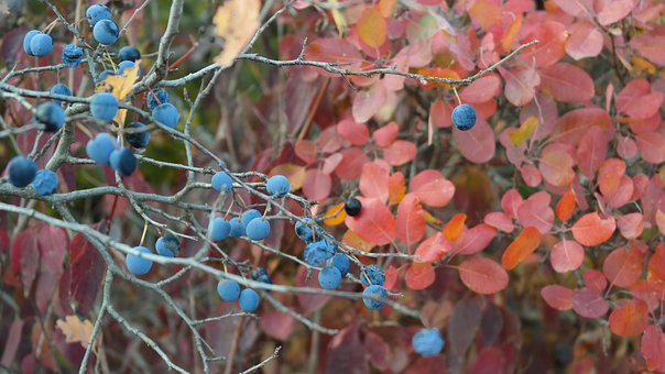Berry, Autumn, Nature, Leaves, In The Fall Of