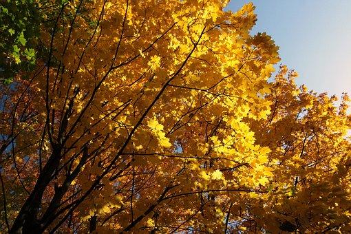 Autumn, Gold, Yellow, Foliage, Landscape, Nature, Tree