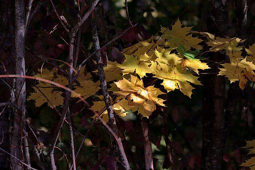 Maple, Autumn, Leaves, Emerge, Fall Leaves