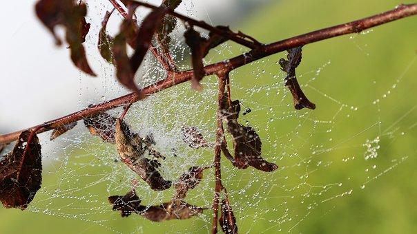 Morning, Spider Net, Cobweb, Leaves, Branch