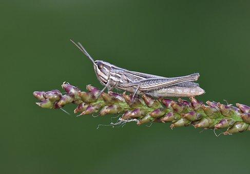 Macro, çekirge, Böcek, Grasshopper, Wild, Doğa, Nature
