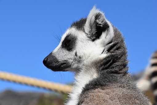 Lemur, Maki Catta, Nature, Stripes, Eyes, Madagascar