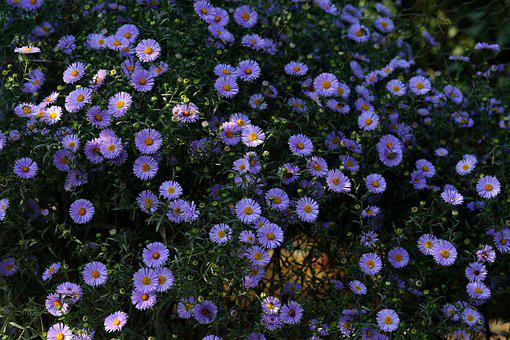 Flowers, Mov, Autumn, Bush, Beauty, Supplies
