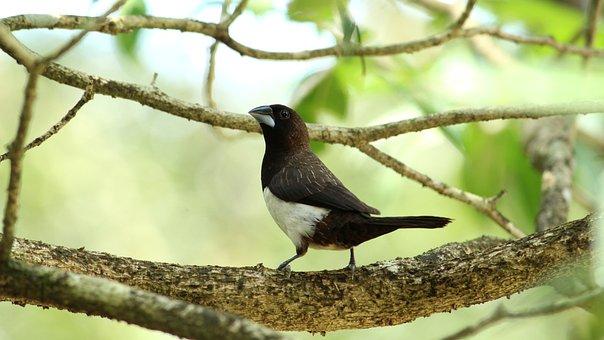 White, Rumped, Munia, Bird, Avian, Kerala, India, Small