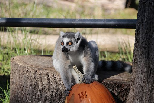 Ring Tailed Lemur, Monkey, Nature, Animal World, Animal