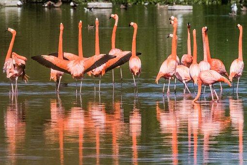 Cuba, Cayo Santa Maria, Flamingo, Wildlife, Nature