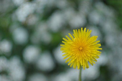 Dandelion, Flowers, Flora, Nature