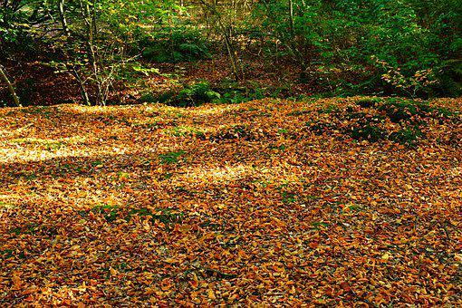 Forest, Forest Floor, Leaves, Autumn, Nature