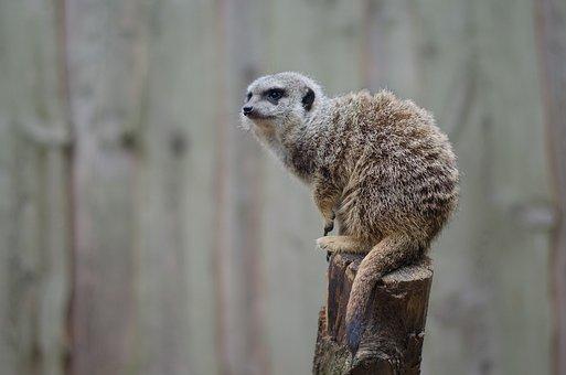 Meerkat, Nature, Mammal, Animal World, Animal, Zoo