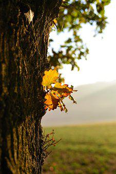 Tree, Oak, Oak Leaf, Morning Sun, Lighting, Nature