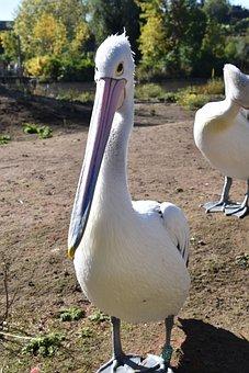 Bird, Pelican, Nature, Beak, Pen, Wing
