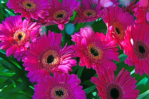 Pink, Gerbera, Pink Flowers, Pink Gerbera, Flower