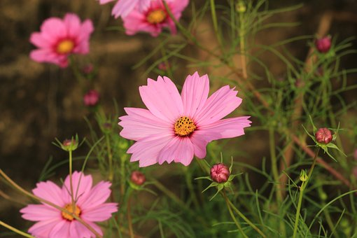 Flowers, Nature, Cosmos, Pink, Bloom, Plant