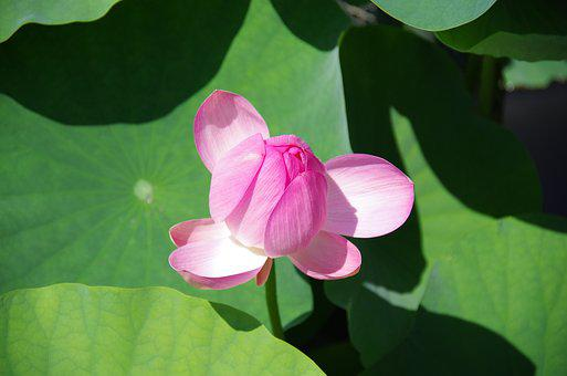 Lotus, Flowers, Pond, Lotus Flower, Natural