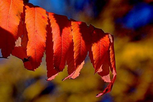 Rhus, Autumn, Leaves, Emerge, Fall Leaves