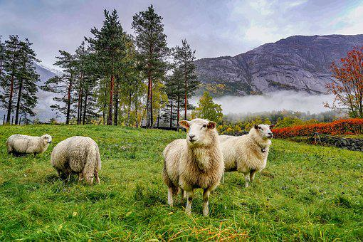 Sheep, Mountains, Norway, Landscape, Rock, Wool
