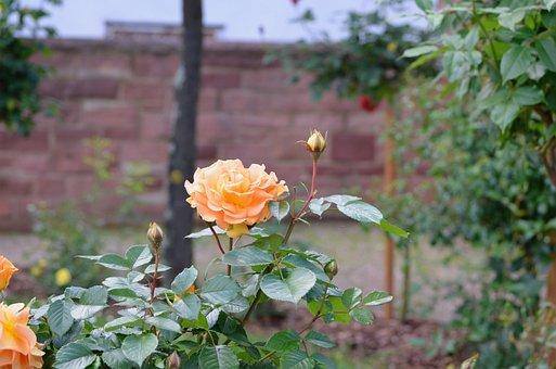Roses, Flowers, Nature, Romantic, Pink, Plant, Romance