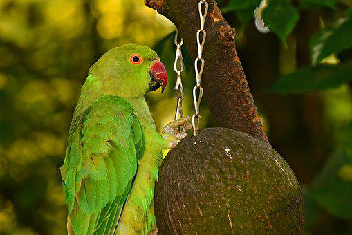 Rose-ringed Parakeet, Bird, Animal, Wildlife, Plumage