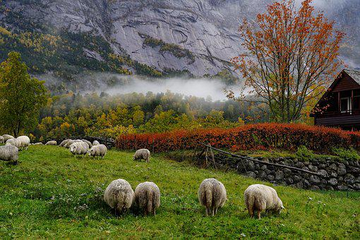 Indian Summer, Norway, Sheep, Animals, Agriculture