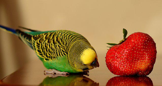 Parrot, Strawberry, Positive, Berry, Green, Sweet, Red