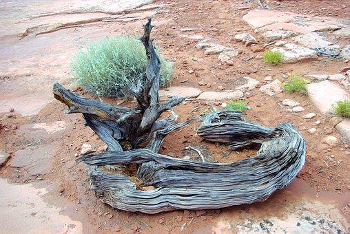 Gnarled Canyonlands Juniper Wood, Gnarled, Utah