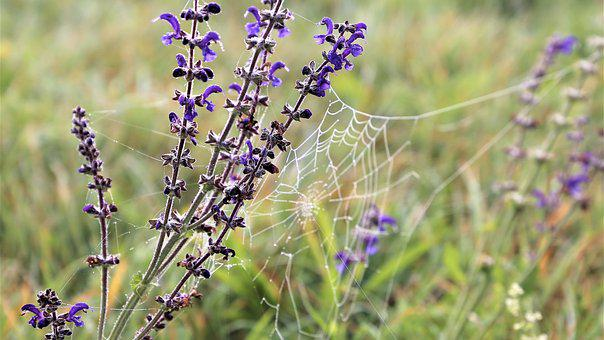 Meadow Sage, Spider Net, Meadow, Morning, Water Drops
