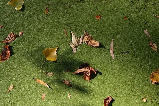 Autumn, Leaves, Duckweed, Green, Water, Fall Foliage