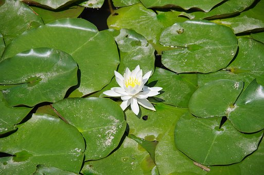 Lotus, Lotus Flower, Natural, White