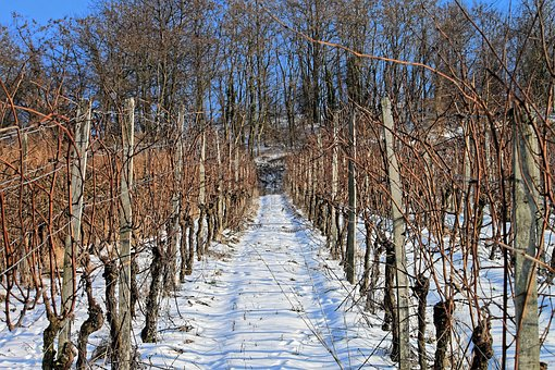Vineyard, Snow, Winter, Vine, Rest, Snowy, Winter Mood