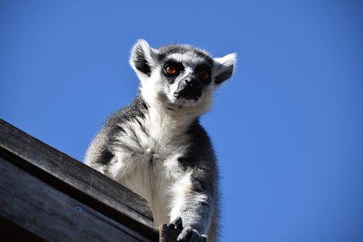 Lemur, Maki Catta, Stripes, Eyes, Madagascar, Zoo