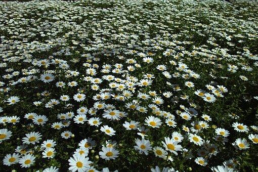Daisy, Flower, Field, Grass, Green, Agriculture, Nature