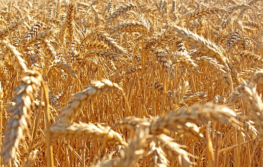 Wheat, Field, Agriculture, Summer, Harvest, Nature