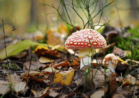 Amanita, Mushroom, Poisonous, Red, Poison