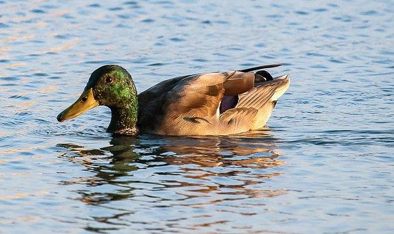 Mallard, Duck, Animal, Drake, Swim, Animal World, Bird