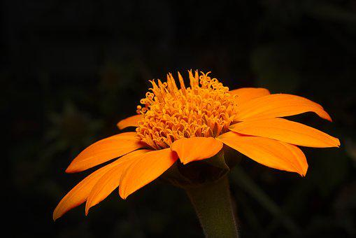 Flower, Autumn, Orange, Close Up, Blossom, Bloom
