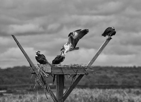 Wildlife, Birds, Forsythe Wildlife Refuge, Bay, Flight