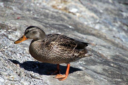 Duck, Gray, Beak, Wing, Wild, Pen, Nature, Bird, Water