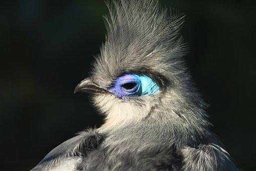 Seidenkukuck, Bird, Nature, Plumage, Animal Portrait