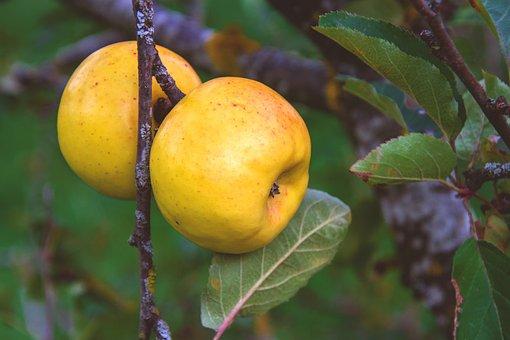 Apple, Green, Yellow, Fruit, Fresh, Tree, Branch