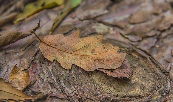 Oak Leaf, Autumn Leaf, Leaf, Autumn, Nature, Oak, Brown