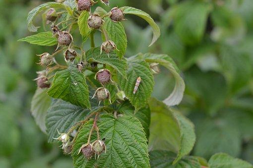 Plant, Raspberry, Buds