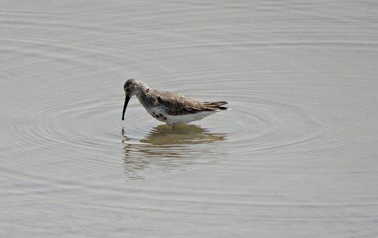Dunlin, Calidris Alpina, Small, Wader, Bird, Gujarat