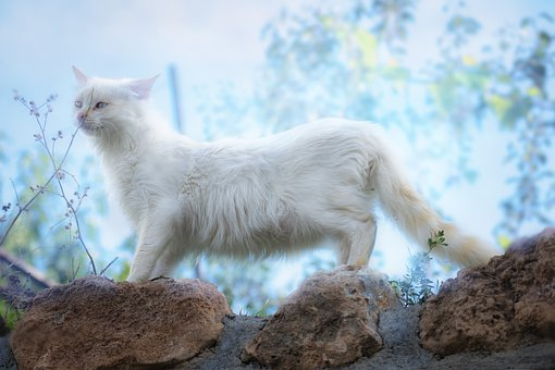 Cat, White, Kitten, Pets, Feline, Cute