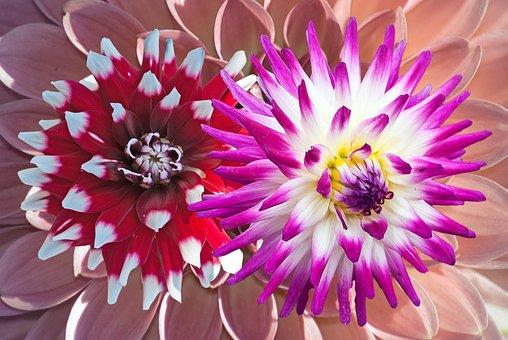 Dahlia, Background, Flowers, Bright, Flower, Color