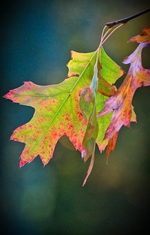 Oak Leaves, Leaf, Colorful, Autumn, Green, Red