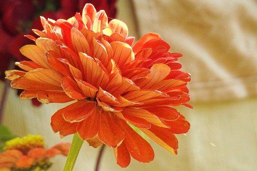 Flower, Blossom, Bloom, Dahlia, Orange, Plant, Autumn