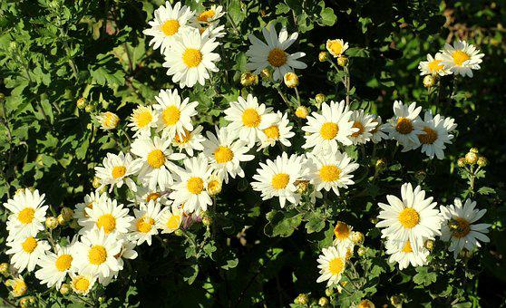 Chrysanthemum, White, Flowers, Garden, Delicate, Plant