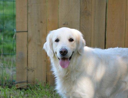 Dog, Dog Golden Retriever, Bitch Golden Mollie