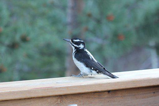Colorado, Bird, Woodpecker, Downy Woodpecker, Cute