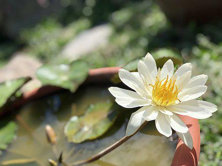 Lotus Pond, White, Elegant, Fresh